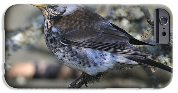 Fauna iPhone Cases - Fieldfare In An Orchard iPhone Case by Colin Varndell