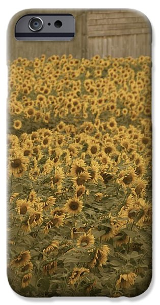 Buttonwood Farm iPhone Cases - Fields of Gold iPhone Case by Dorothy Drobney