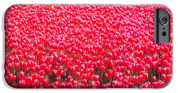 Fushia iPhone Cases - Fields Of Tulips Alkmaar Vicinity iPhone Case by Panoramic Images