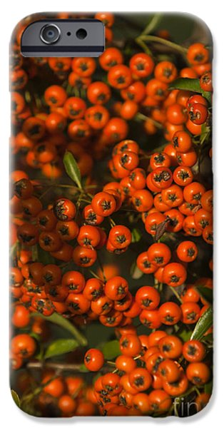 Berry iPhone Cases - Firethorn Pyracantha iPhone Case by Dan Radi