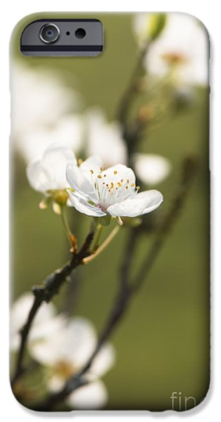 Rosaceae iPhone Cases - First Signs of Spring iPhone Case by Anne Gilbert