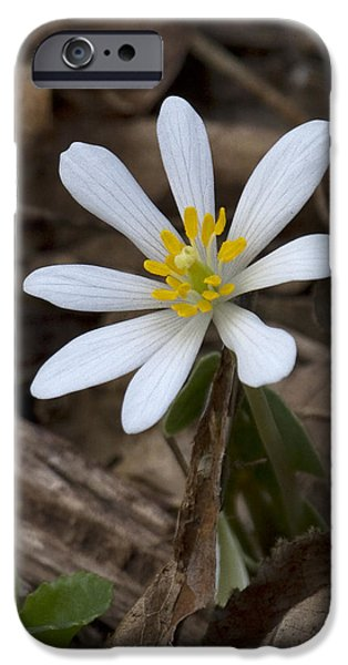 Lincoln iPhone Cases - First Wildflower of Spring iPhone Case by Eric Mace
