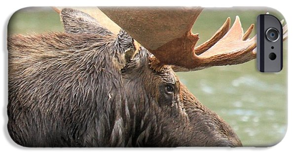 Moose In Water iPhone Cases - Fishercap Lake Moose iPhone Case by Adam Jewell