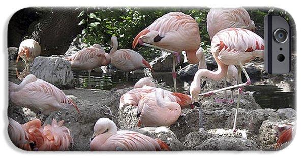 Baby Bird iPhone Cases - Flamboyant Flamingos iPhone Case by Deniece Platt