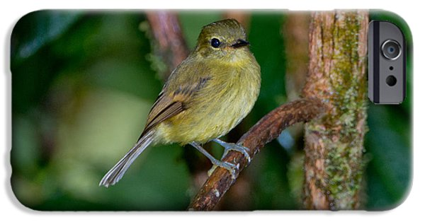 Flycatcher iPhone Cases - Flavescent Flycatcher iPhone Case by Anthony Mercieca