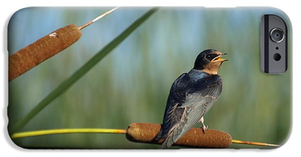 Swallow Chicks iPhone Cases - Fledgling Barn Swallow iPhone Case by James Peterson
