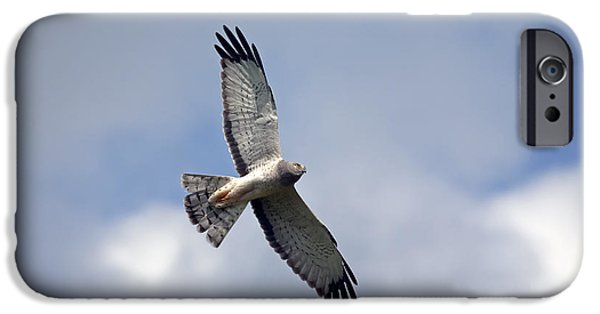 Hawk iPhone Cases - Flight of the Harrier iPhone Case by Mike  Dawson