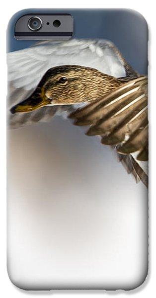 Birds iPhone Cases - Flight of the Mallard iPhone Case by Bob Orsillo