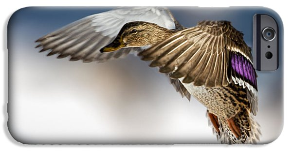 Animals Photographs iPhone Cases - Flight of the Mallard iPhone Case by Bob Orsillo