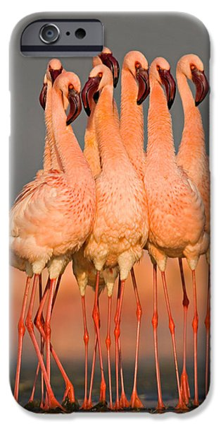 Flocks Of Birds iPhone Cases - Flock Of Eight Flamingos Wading iPhone Case by Panoramic Images