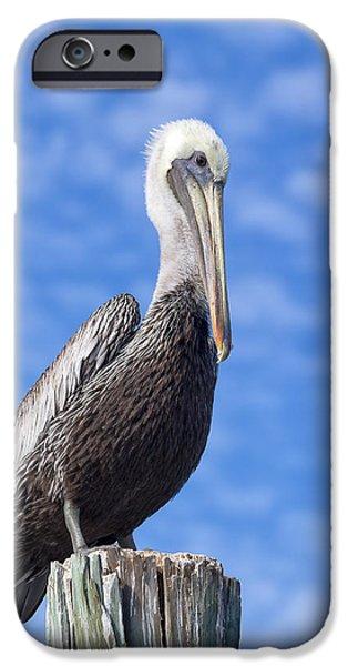 Kim Photographs iPhone Cases - Florida Brown Pelican iPhone Case by Kim Hojnacki