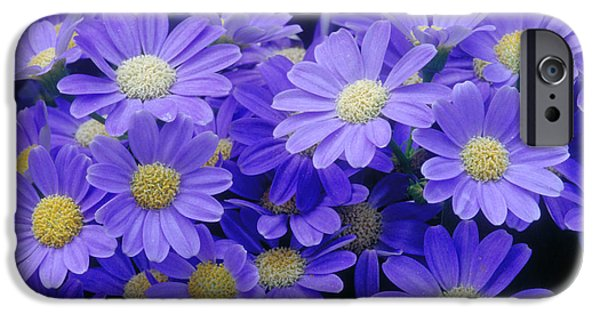 Pericallis iPhone Cases - Florists Cineraria Hybrid iPhone Case by Geoff Bryant
