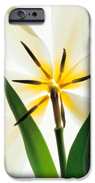 Designs In Nature iPhone Cases - Flower Head, Lily iPhone Case by Panoramic Images