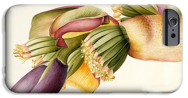 Flower Of Life Paintings iPhone Cases - Flower of the Banana Tree  iPhone Case by Georg Dionysius Ehret