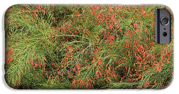 Florida Flowers Photographs iPhone Cases - Flowers On Coral Plants Russelia iPhone Case by Panoramic Images