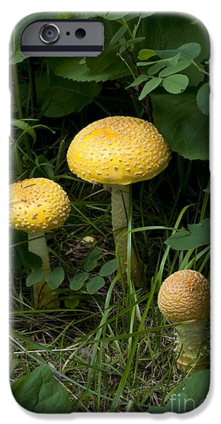 Agaricales iPhone Cases - Fly Agaric Mushrooms iPhone Case by Stephen J. Krasemann