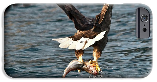 Norway iPhone Cases - Flying European Sea Eagle 3 iPhone Case by Heiko Koehrer-Wagner