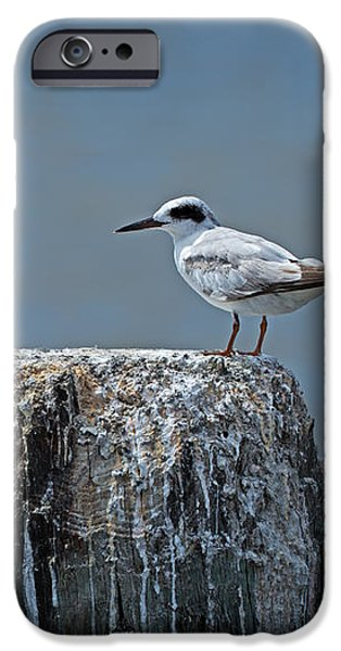 Forster's Tern iPhone Case by Louise Heusinkveld