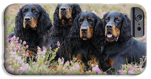 Gordon Setter iPhone Cases - Four Gordon Setters iPhone Case by John Daniels