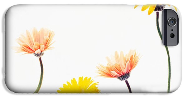 Cut-outs iPhone Cases - Four Yellow And Pink Daisies On White iPhone Case by Panoramic Images