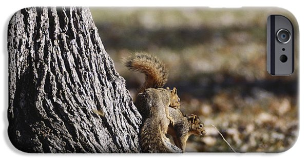 Fox Squirrel iPhone Cases - Fox Squirrels Mating iPhone Case by William H. Mullins