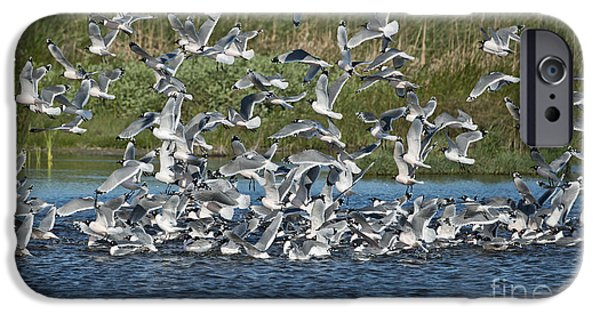 Flying Seagull iPhone Cases - Franklins Gulls iPhone Case by Anthony Mercieca