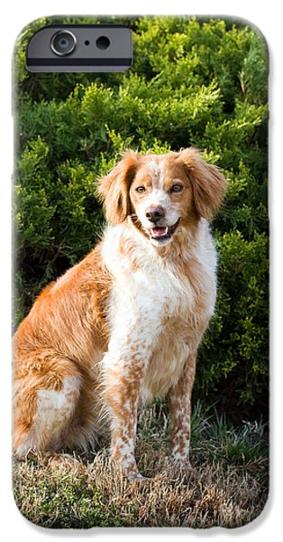 Setter Pointer iPhone Cases - French Brittany Spaniel iPhone Case by Steven Frame