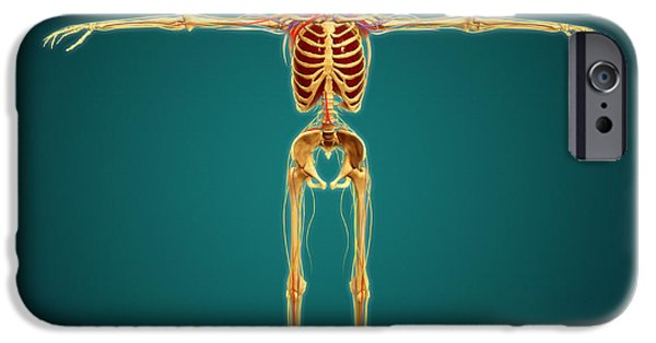 Sacral Plexus iPhone Cases - Front View Of Human Skeleton iPhone Case by Stocktrek Images