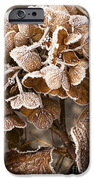 Frosted Hydrangea iPhone Case by Anne Gilbert