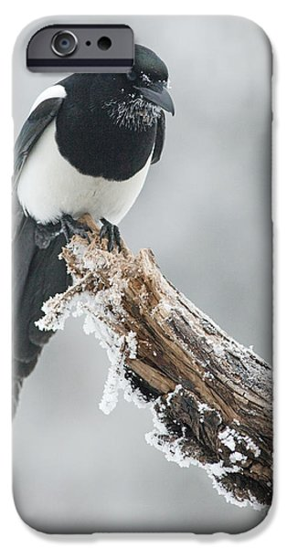 Magpies iPhone Cases - Frosted Magpie iPhone Case by Tim Grams