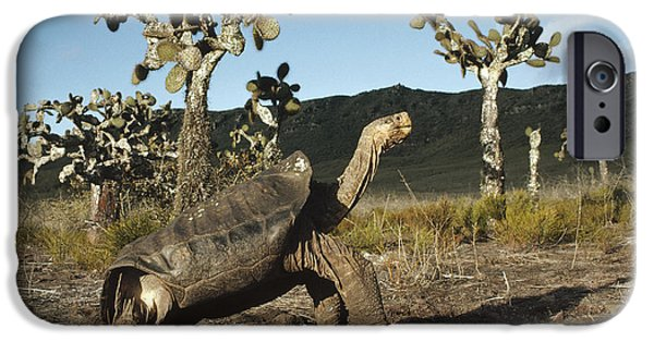 Recently Sold -  - Fauna iPhone Cases - Galapagos Giant Tortoise And Opuntia iPhone Case by Tui De Roy