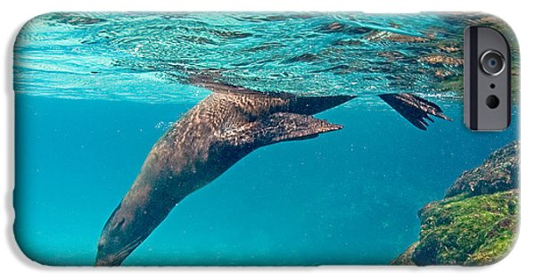 Sea Lions iPhone Cases - Galapagos Sea Lion Zalophus Wollebaeki iPhone Case by Panoramic Images