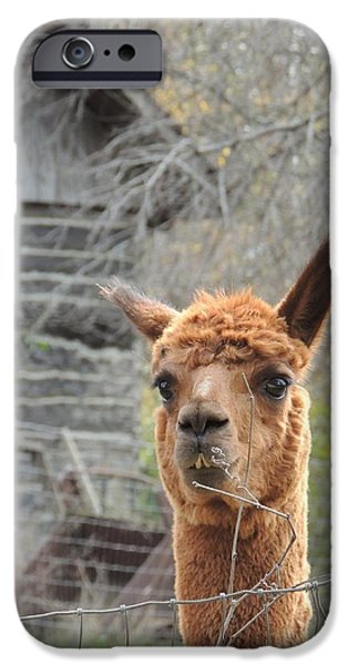 Todd Sherlock Photographs iPhone Cases - Galena Alpaca iPhone Case by Todd Sherlock
