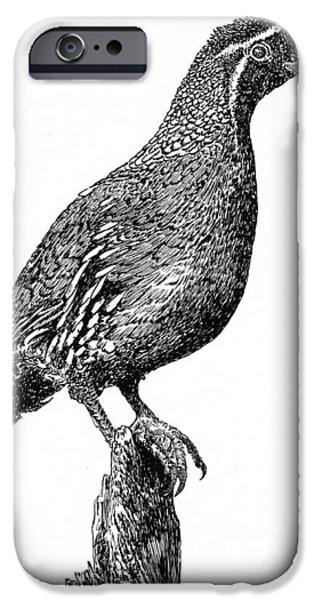 Colorado Drawings iPhone Cases - Gambel Quail iPhone Case by Jack Pumphrey