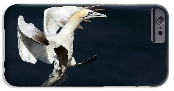 Sea Birds iPhone Cases - Gannet iPhone Case by Grant Glendinning