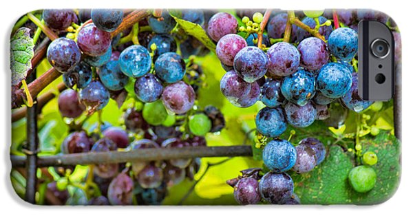 Concord Grapes iPhone Cases - Garden Grapes iPhone Case by Bill Pevlor