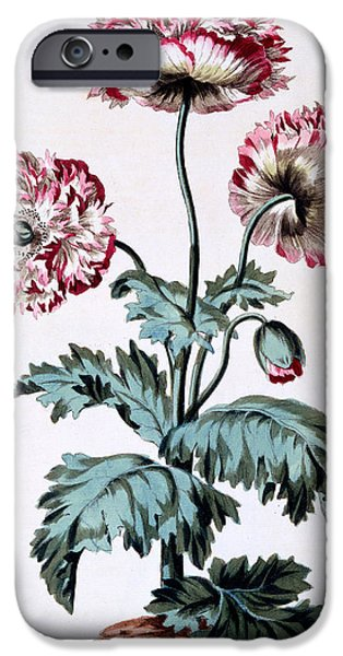 Still Life iPhone Cases - Garden Poppy with Black Seeds iPhone Case by John Edwards