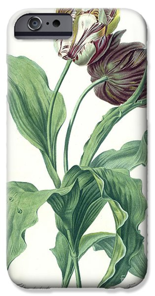 Flora Drawings iPhone Cases - Garden Tulip iPhone Case by Gerard van Spaendonck