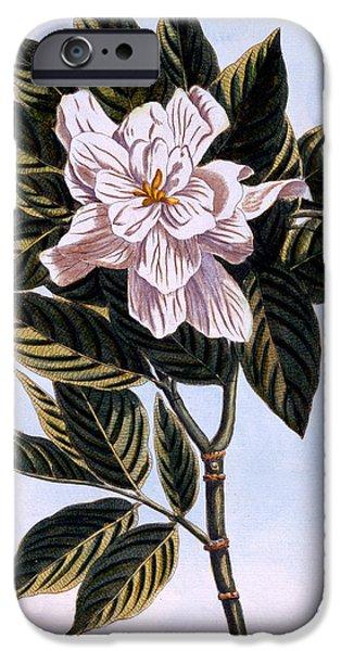Augusta iPhone Cases - Gardenia G Augusta iPhone Case by Pierre Joseph Buchoz