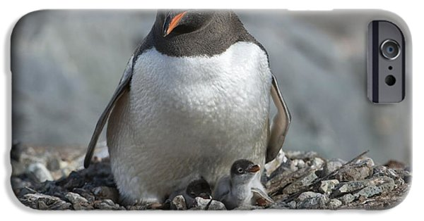 Sea Birds iPhone Cases - Gentoo Penguin And Chick iPhone Case by Dr P. Marazzi