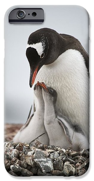Sea Birds iPhone Cases - Gentoo Penguin And Chicks iPhone Case by Dr P. Marazzi