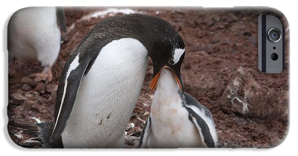 Sea Birds iPhone Cases - Gentoo Penguin Feeding Its Chick iPhone Case by Dr P. Marazzi