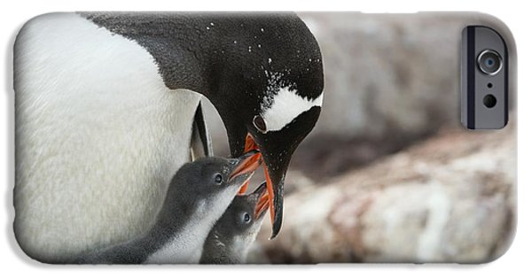 Sea Birds iPhone Cases - Gentoo Penguin Feeding Its Chicks iPhone Case by Dr P. Marazzi