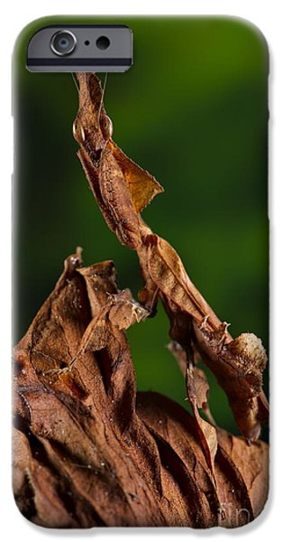 Mantises iPhone Cases - Ghost Or Dead Leaf Mantis iPhone Case by Francesco Tomasinelli