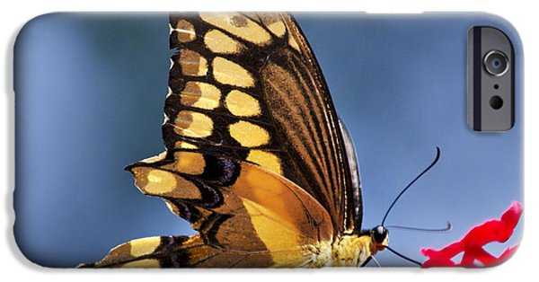 Blue Swallowtail iPhone Cases - Giant Swallowtail Butterfly Square Format iPhone Case by Christina Rollo