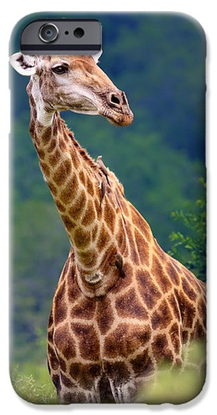 Shoulders iPhone Cases - Giraffe portrait closeup iPhone Case by Johan Swanepoel
