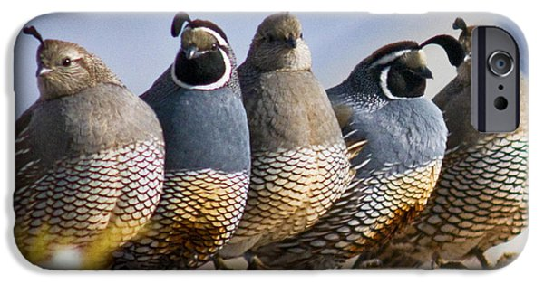 California Quail iPhone Cases - Girl Boy Girl Boy Girl iPhone Case by Janis Knight