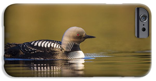 Loon iPhone Cases - Glassy Waters and a Pacific Loon iPhone Case by Tim Grams