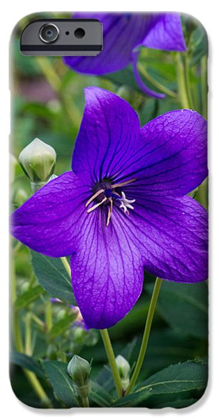 Balloon Flower iPhone Cases - Glowing Balloon Flower Greating the Morning iPhone Case by Douglas Barnett
