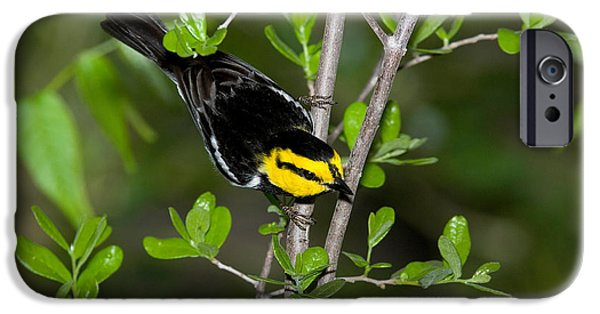 Warbler iPhone Cases - Golden Cheeked Warbler iPhone Case by Anthony Mercieca